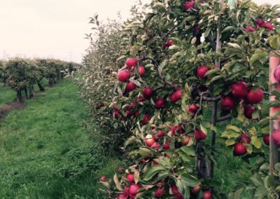 Unsere leckeren Äpfel