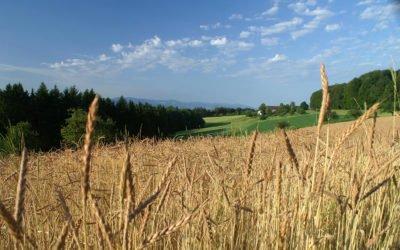 Getreideernte auf dem Stabhalterhof
